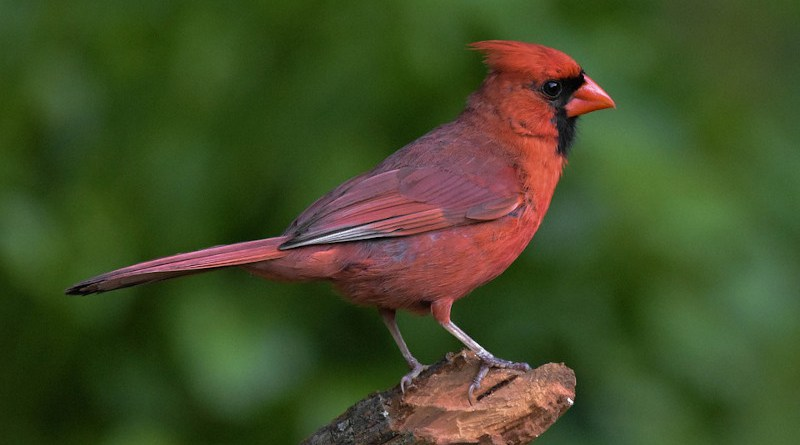 Bird Male Northern Cardinal
