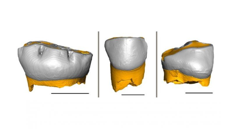 Thanks to the combination of geochemical and histological analyses of these three Neanderthal milk teeth, researchers were able to determine their pace of growth and the weaning onset time. CREDIT: Federico Lugli