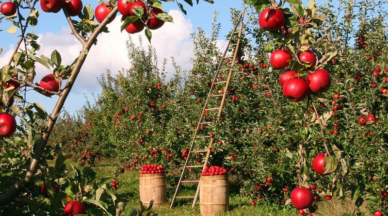 Apple Orchard Apple Trees Red Green Ladder