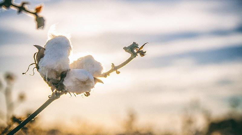 cotton plant agriculture