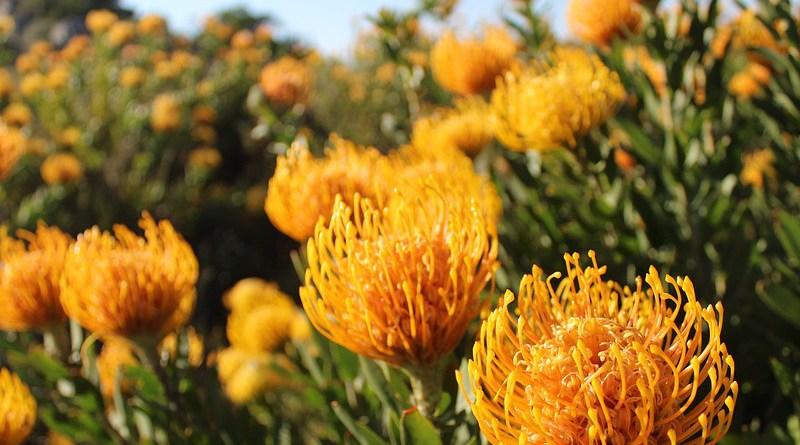 Fynbos South Africa Flowers Plants Nature