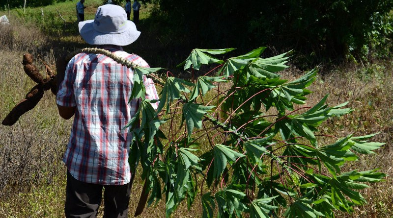A farmer in Central America harvests cassava. CREDIT International Center for Tropical Agriculture