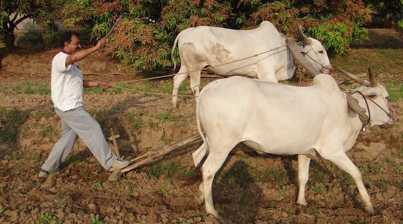 india farm farmer agriculture ox cattle