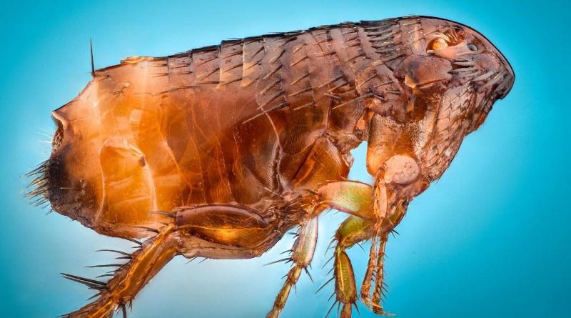 A living flea. CREDIT NIGPAS