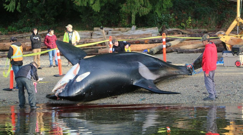 An 18-year-old male southern resident killer whale stranded near Sechelt, British Columbia on December 21, 2016. Postmortem examination suggested he died from trauma consistent with vessel strike. Other cases of vessel strike were identified in this study, while an earlier study by Williams and O'Hara (2010) identified 10 killer whales struck by boats between 1995 and 2005. This suggests that vessel strike may be an under-appreciated but important threat to killer whales in the eastern Pacific. CREDIT: Paul Cottrell, Fisheries and Oceans Canada