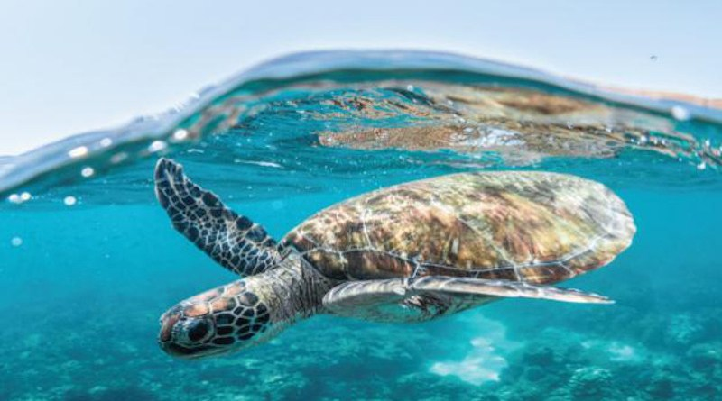Increasing sand temperatures driven by climate change may tip the delicate balance of gender distribution in Red Sea turtle populations. CREDIT: © 2020 Morgan Bennett Smith
