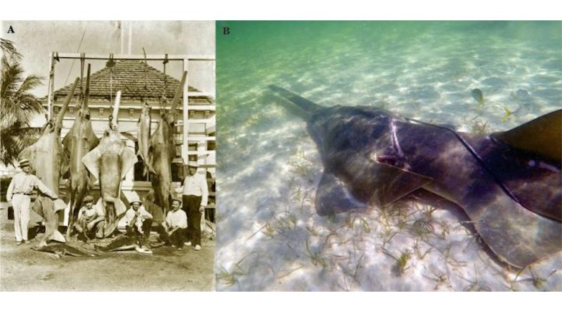 Figure 3 from the paper: (A) Photograph taken by W. A. Fishbaugh in the 1920s, recorded as taken in Miami (courtesy of State Library & Archives of Florida, Florida: https://www.floridamemory.com/items/show/165364). (B) Photograph taken by 2 national park rangers in Biscayne Bay National Park near Elliott Key on 23 November 2018, showing a smalltooth sawfish entangled in fishing gear (courtesy of Biscayne National Park: https://www.fisheries.noaa.gov/feature-story/saving-endangered-sawfish)