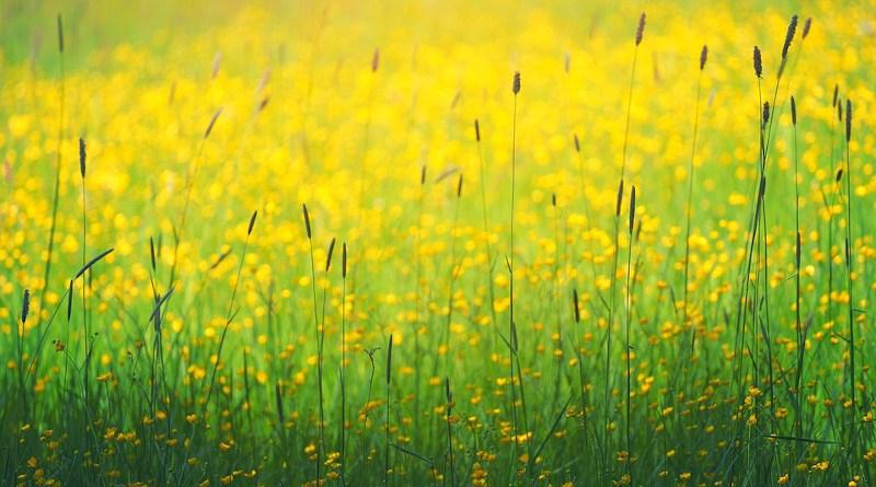 Green Grass Yellow Flower Plant Nature Farm