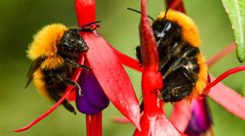 This photo shows a giant Patagonian bumblebee (Bombus dahlbomii). Four decades ago, these bees were abundant in Chile and Argentina, but now they have become an uncommon sight. CREDIT Eduardo E. Zattara