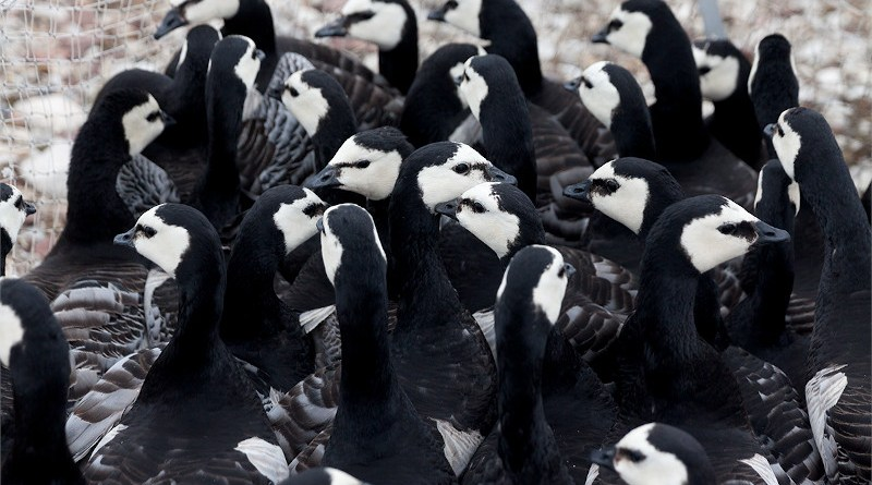A gaggle of geese awaiting measurement on the outskirts of Ny-Ålesund. Photo: Photo: Ronald Cornelisse
