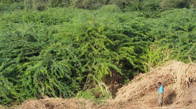 Prosopis julifora CREDIT CABI