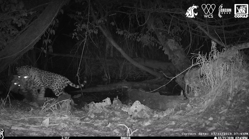 A male jaguar carries off an ocelot at a watering hole in the Maya Biosphere Reserve in Guatemala. CREDIT Washington State University