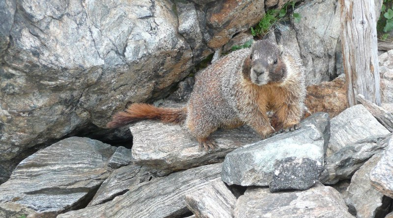 A yellow-bellied marmot (Marmota flaviventris) in the Rocky Mountains. CREDIT McCain Lab