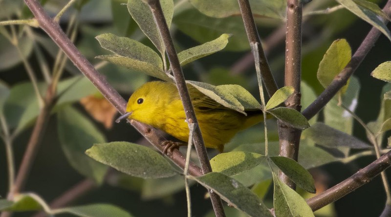Yellow warblers are found throughout North America and fly to Central and South America for winter. Rachael Bay, assistant professor of evolution and ecology at UC Davis, and colleagues have found that individual birds show preferences for drier or wetter environments throughout the year and that this preference can be predicted from their genetics. CREDIT Jonathan Eisen