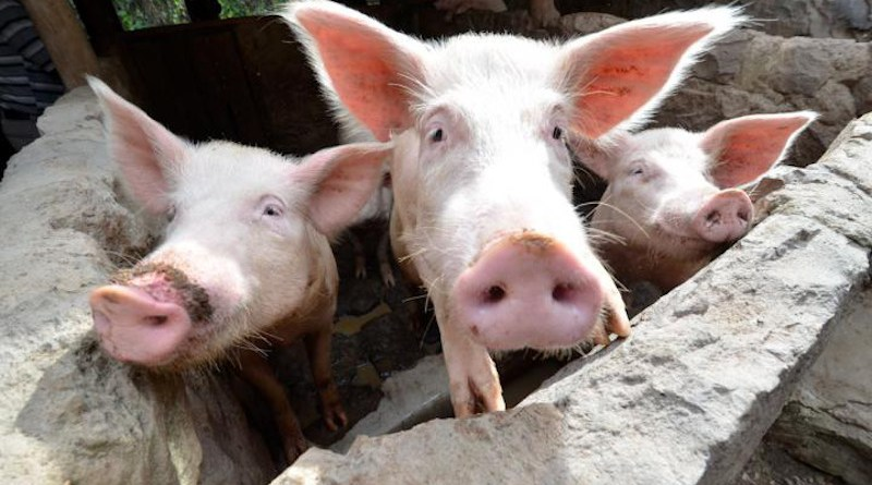 File photo of pigs in East Africa CREDIT Neil Palmer / International Center for Tropical Agriculture