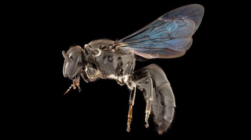 The recently found Pharohylaeus lactiferus (Colletidae: Hylaeinae) CREDIT James Dorey Photography