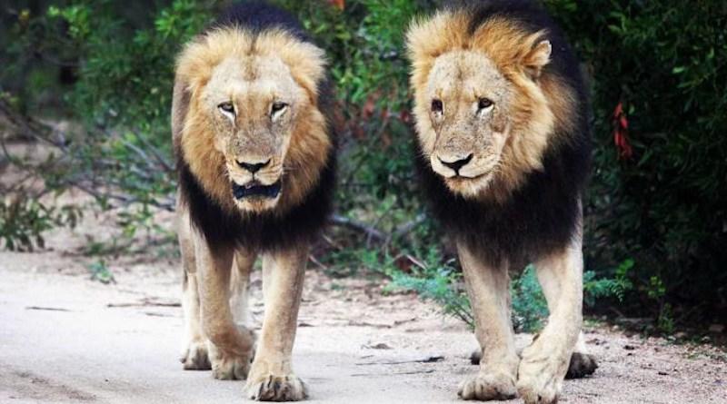 Lions in the wild CREDIT Associate Professor Enrico Di Minin, University Of Helsinki