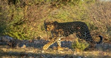 Leopard CREDIT Photo by Brutus Östling