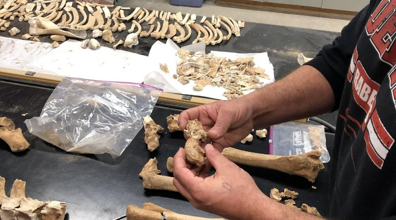 Study coauthor Isaac Hart of the university of Utah compares a healthy talus bone from the Lehi horse with one heavily impacted by arthritis. CREDIT William Taylor