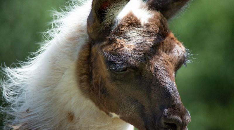 Llama Animal Livestock Camelid Mammal
