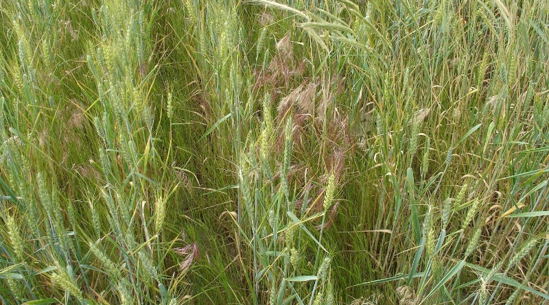 Collection of feral rye (Secale cereale), rattail fescue (Vulpia myuros), and downy brome (Bromus tectorum) in a winter wheat field near Pilot Rock, Oregon before the feral rye and rattail fescue started to shatter seeds. CREDIT Photo taken by Judit Barroso on May 24, 2016.