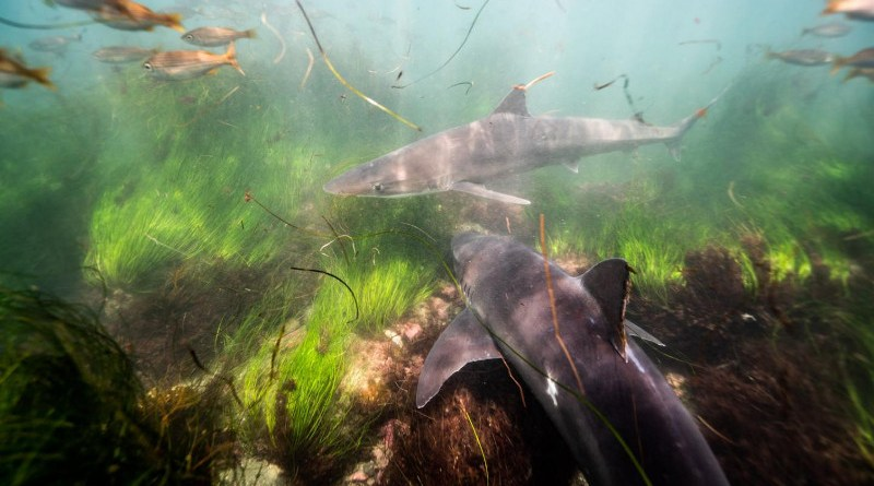Soupfin sharks schooling in the shallows off La Jolla, Calif. Scripps and USD researcher Andy Nosal found that these sharks return to the same warm waters every three years, presumably to help gestate their embryos. CREDIT Trystan Snodgrass