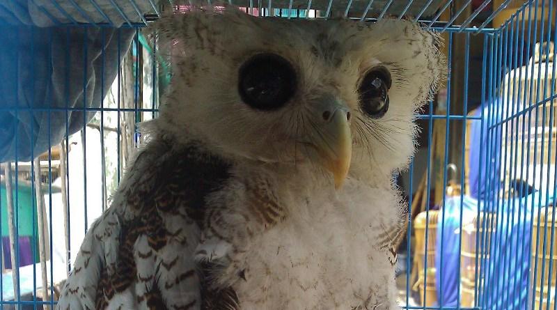 Barred Owl Indonesia CREDIT Vincent Nijman