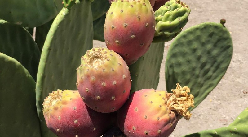 Among three cactus varieties researched by the University of Nevada, Reno as drought-tolerant crops for biofuel, Opuntia ficus-indica produced the most fruit while using up to 80% less water than some traditional crops. CREDIT Photo by John Cushman, University of Nevada, Reno.