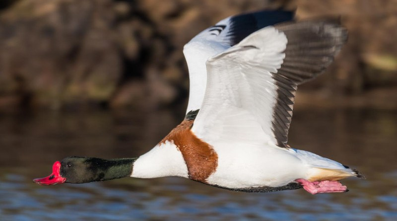 A Shelduck in flight. CREDIT ©Philip Croft/BTO