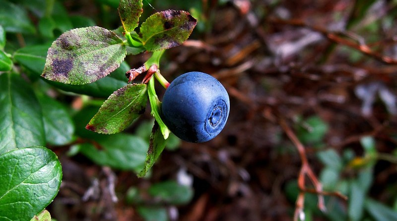 wild blueberry plant forest