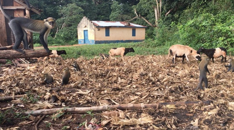 Primates and livestock explore the grounds outside a residence in Ghana. CREDIT Terra Kelly, UC Davis