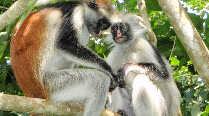 Red Colobus monkeys. Photo Credit: Olivier Lejade, Wikipedia Commons