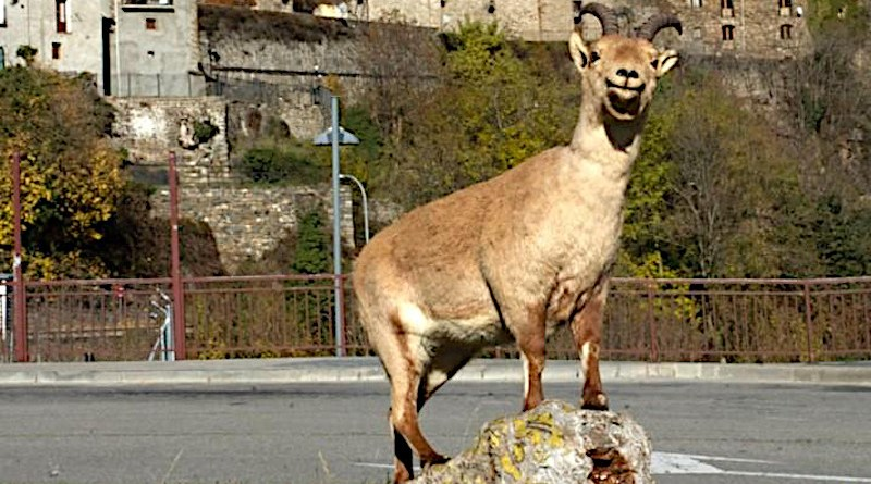 Laña, the last surviving Pyrenean Ibex, returned as a mounted animal to Torla-Ordesa on the 6th November 2012 after its controversial cloning attempt. Her skin is now exhibited in the visitors centre of Ordesa & Monte Perdido National Park CREDIT Manolo Grasa