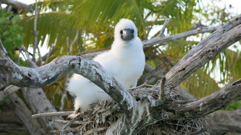 Important Seabird Nutrients Reach Coral Reefs After Rat Eradication