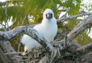 A Booby chick sits on a nest on a rat-free island in the Indian OceanCredit Professor Nick Graham