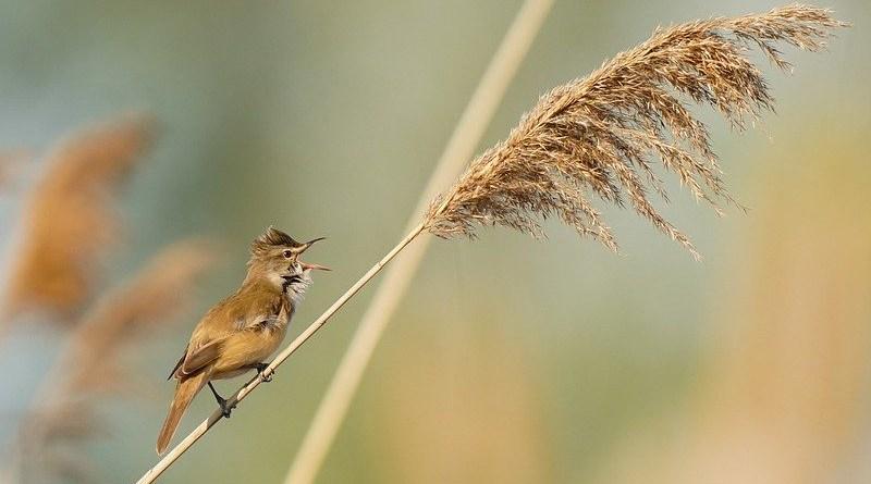 Great Reed Warbler Bird Male Avian Reed Animal