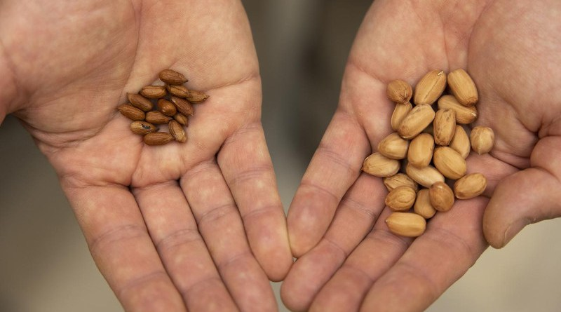 Wild peanut variations in the lab of David Bertioli and Soraya Leal-Bertioli at the Center for Applied Genetic Technologies. CREDIT Andrew Davis Tucker/UGA