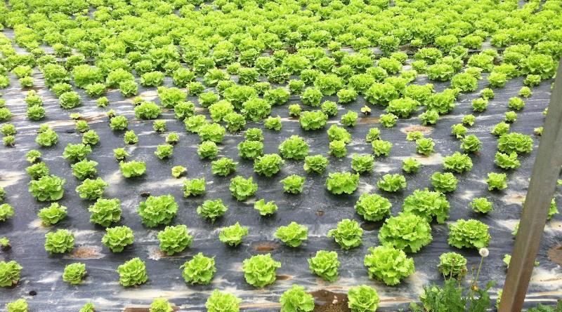 A productive lettuce yield following the researchers' new biodisinfestation method. CREDIT Image: Maite Gandariasbeitia et al