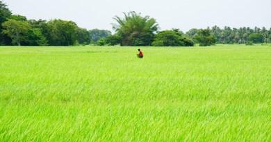 sri lanka farm rice