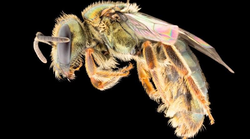 Homalictus fijiensis, a common bee in the lowlands of Fiji. CREDIT James Dorey, Flinders University