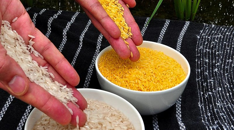 Golden Rice grain compared to white rice grain in screenhouse of Golden Rice plants. Photo Credit: International Rice Research Institute (IRRI), Wikipedia Commons