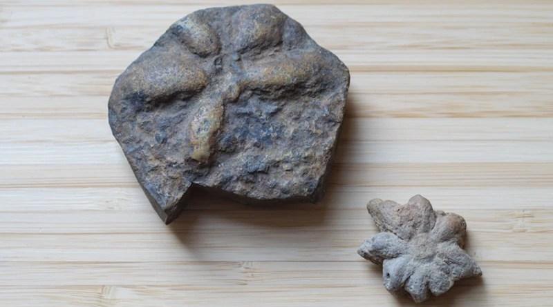 Two fossils of Brooksella alternata, an invertebrate animal that swam in the ocean roughly 500 million years ago. CREDIT: Glenn Asakawa/CU Boulder
