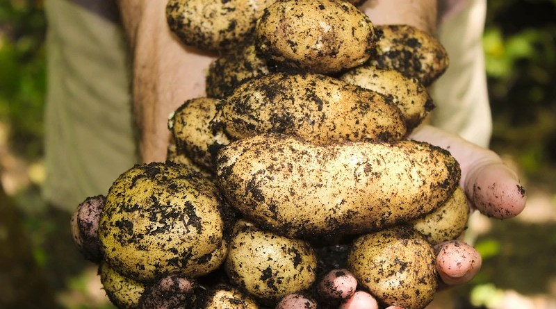 Potatoes Natural Soil Gardening Farming Garden