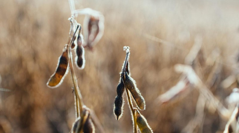 Soy beans in a field ready for harvest in Fenton, Illinois. CREDIT Kelly Sikkema / Unsplash