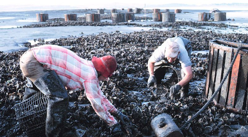 Harvesting oysters from beds by hand in Willapa Bay, Washington state, United States. Photo Credit: Bob Williams, NOAA, Wikipedia Commons