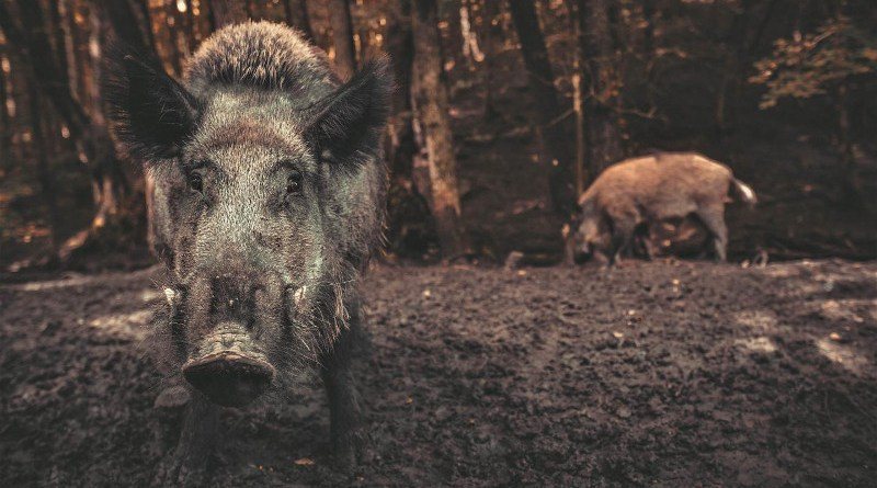 """""""Wild pigs are just like tractors ploughing through fields, turning over soil to find food,"""" Dr O'Bryan said. CREDIT The University of Queensland"""