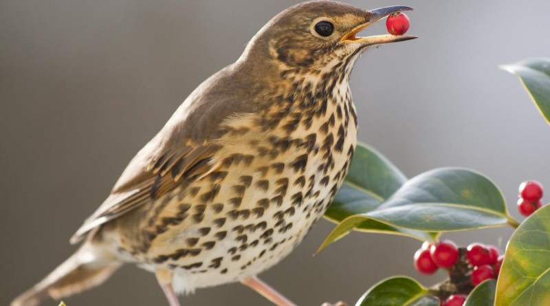 A song thrush eating holly fruits. The long fruiting period of hollies from autumn to late winter overlaps with the northward migration of song thrushes and, therefore, these have the potential to disperse holly seeds at long distances towards cooler latitudes. CREDIT David Chapman
