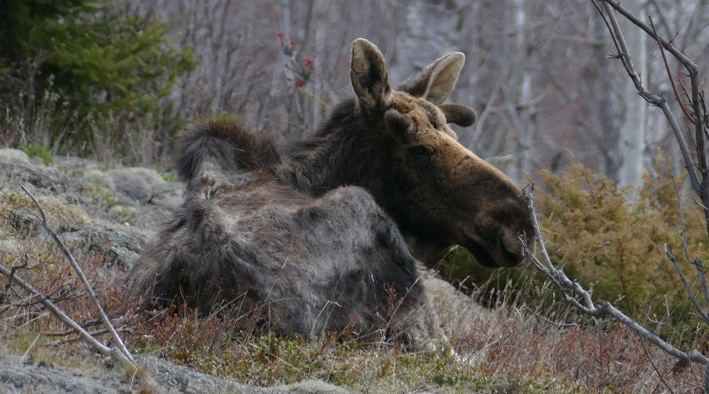 In this image from April 2021, an emaciated and nutritionally stressed bull moose -- who is also severely impacted by winter ticks -- beds down on the island. CREDIT Michigan Tech