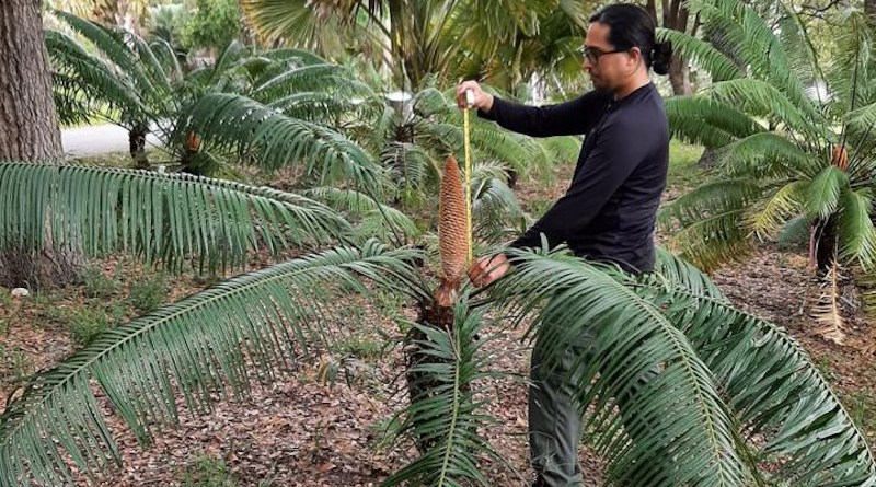 University of Guam cycad biologist Benjamin Deloso measures the size of a male cone of a 15-year-old Cycas micronesica plant at the Montgomery Botanical Center in Miami. The University of Guam is studying pollination biology of the Guam tree in this Florida site because the unhealthy trees in Guam are heavily damaged by invasive insect pests. CREDIT Montgomery Botanical Center