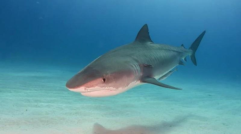 Tiger Shark At Tigerbeach Bahamas. Photo Credit: Marion Kraschl, Wikimedia Commons